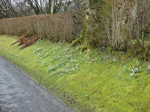snowdrop becks road