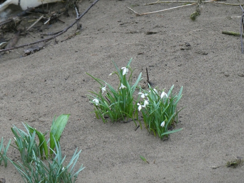 snowdrops beside river after flood