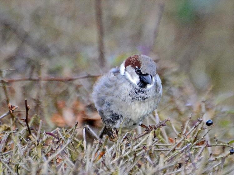 sparrow on hedge clinthead gardens