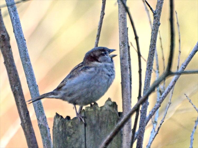 sparrow shouting