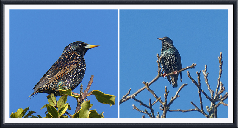 starling on walnut and holly