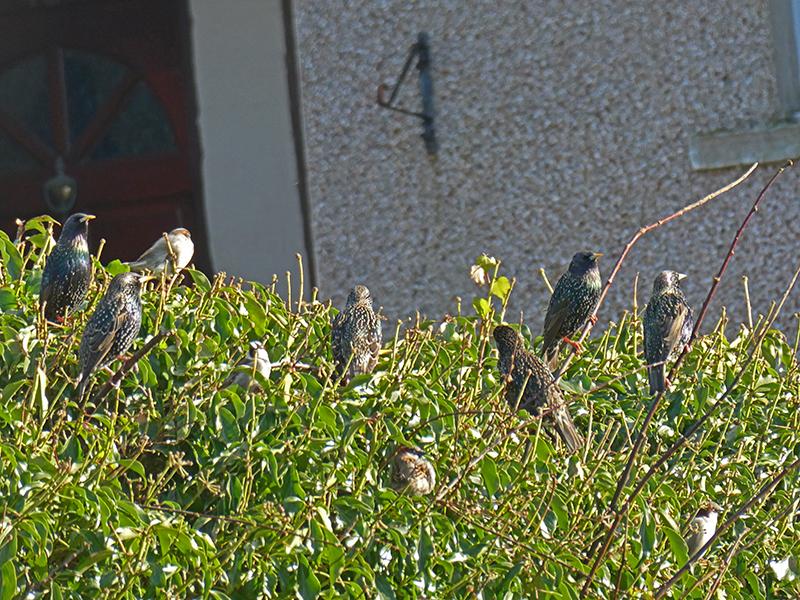 starlings back henry street