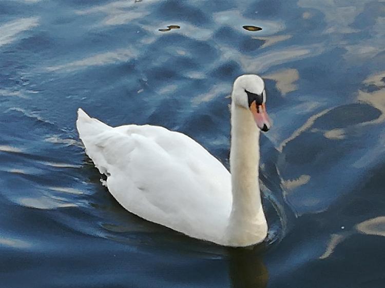 swan holyrood park