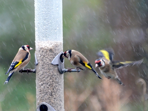three goldfinches rain