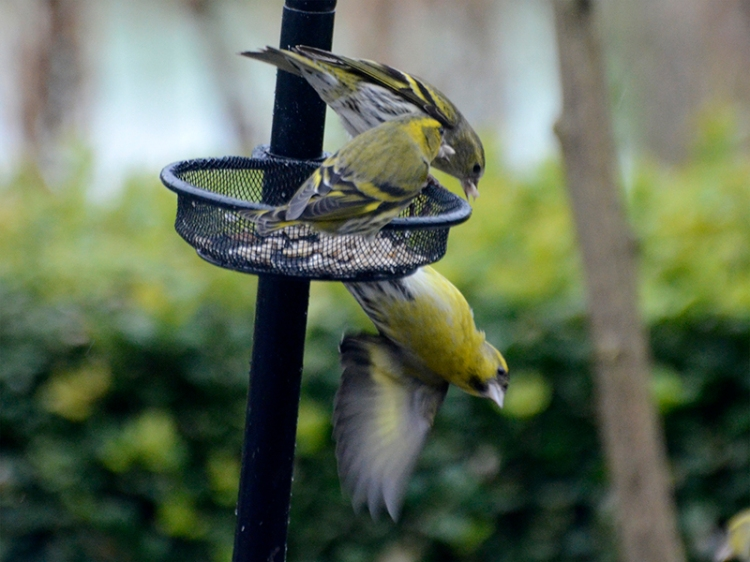 three siskins and a dunk