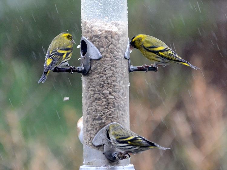 three siskins rain