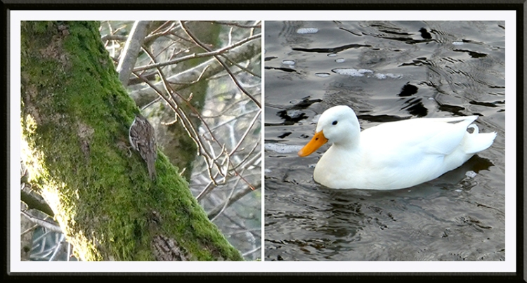 tree creeper and duck
