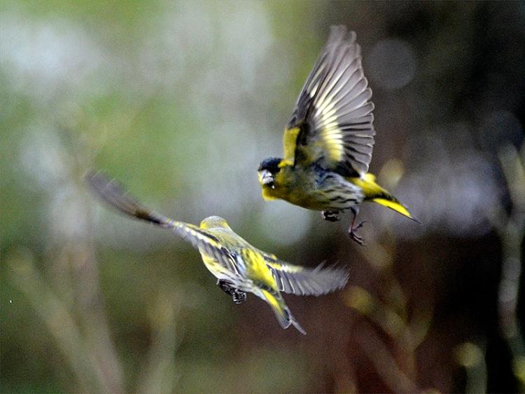 two flying siskins sparring