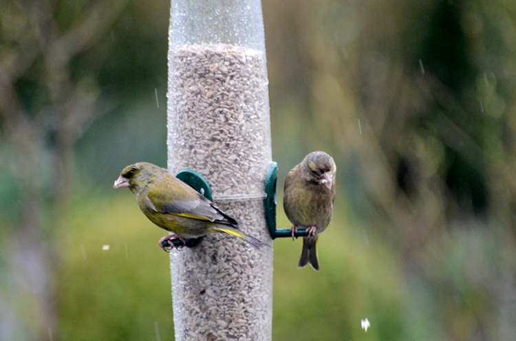 two greenfinches dropping food