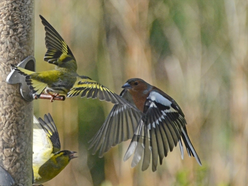 two siskins vs chaffinch