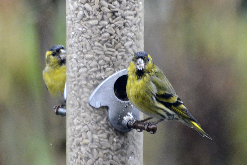 two soggy siskins