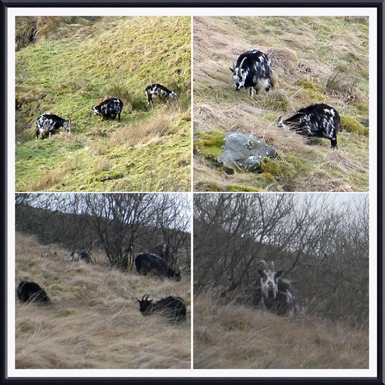 wild goats Tarras