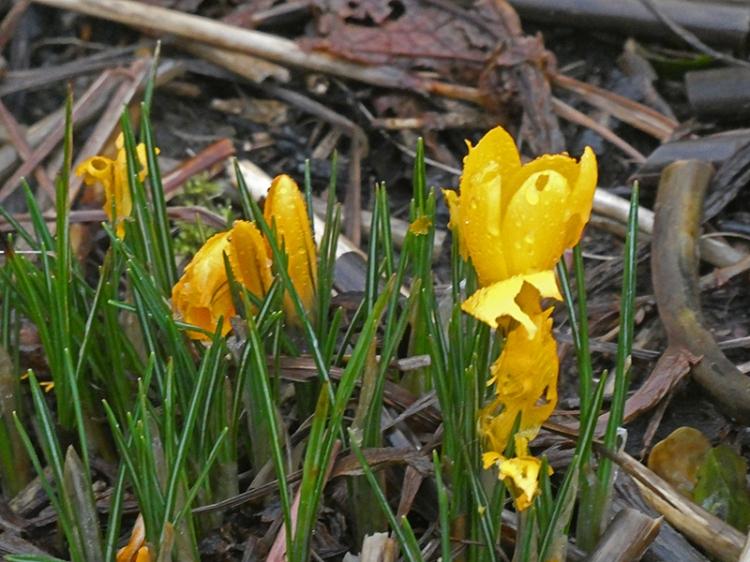yellow crocus in Dennis