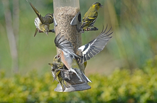 all action siskins
