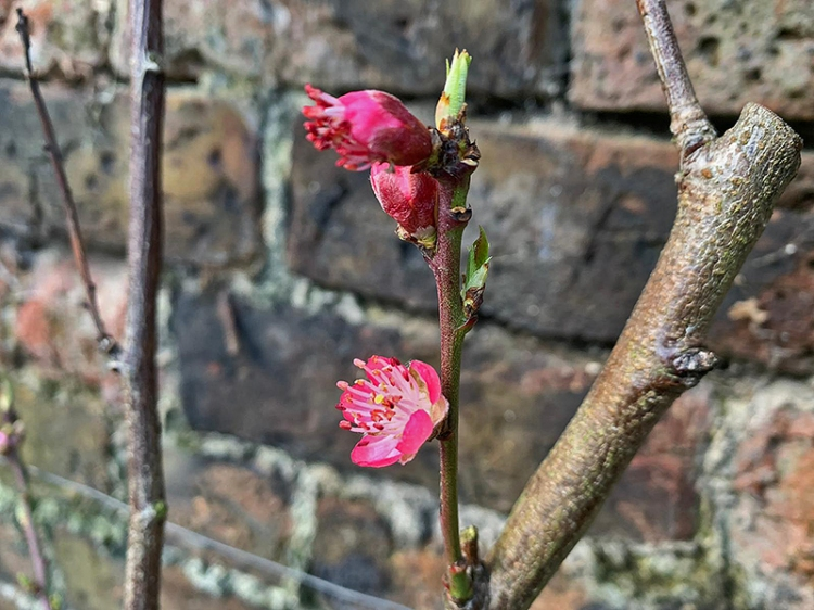 annie's peach blossom