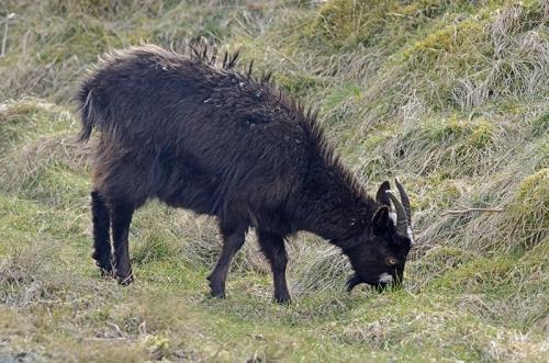 bedraggled goat