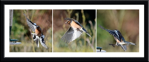 bendy flying chaffinches