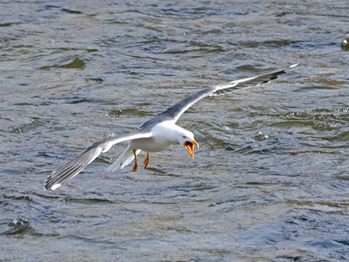 black backed gull flying