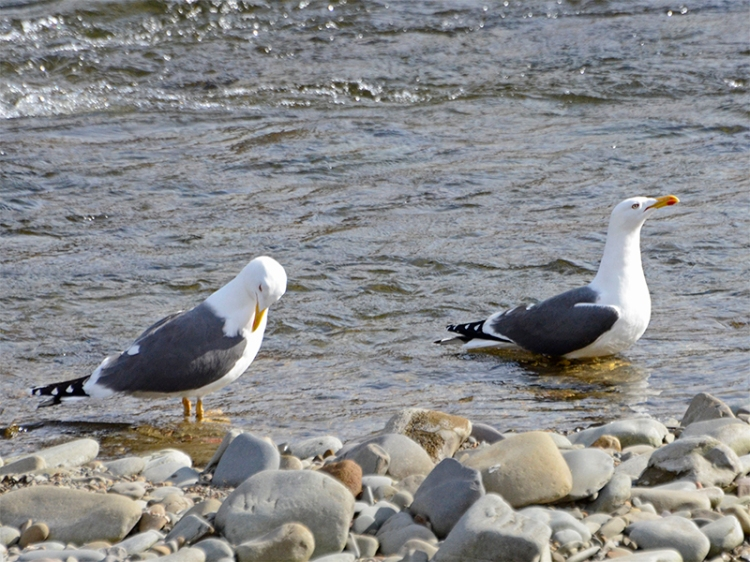 black backed gull pair