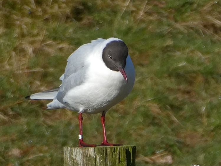 black headed gull with black head