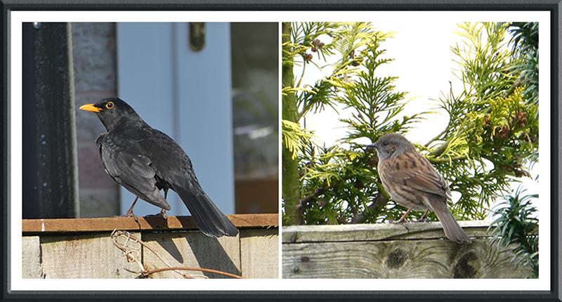 blackbird and dunnock on fence