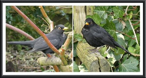 blackbird panel