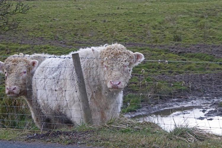 bloch bull