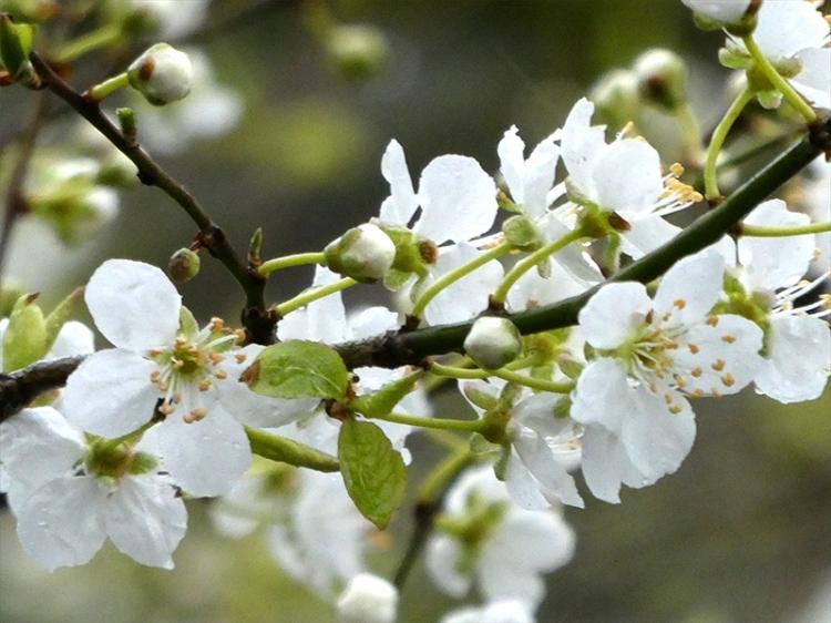 blossom behind school