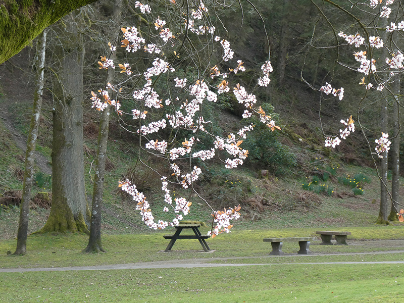 blossom in park