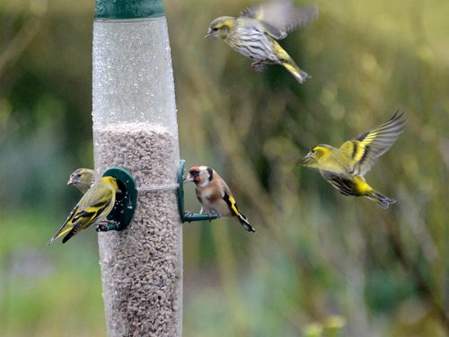 busy feeder siskins