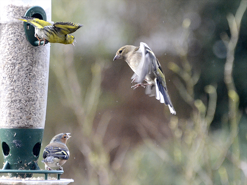 chaffinch being shouted at