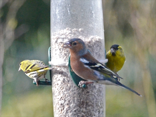 chaffinch eating neatly