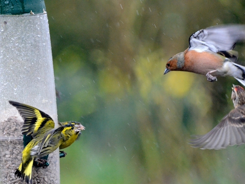 chaffinch getting a shouting