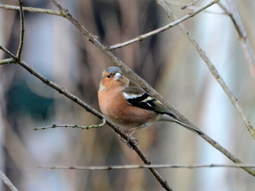 chaffinch in fake tree