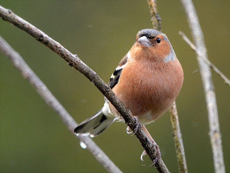 chaffinch looking up