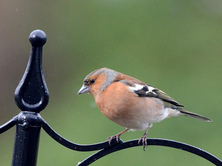 chaffinch on pole