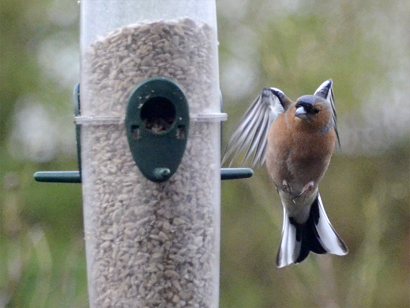 chaffinch round the back
