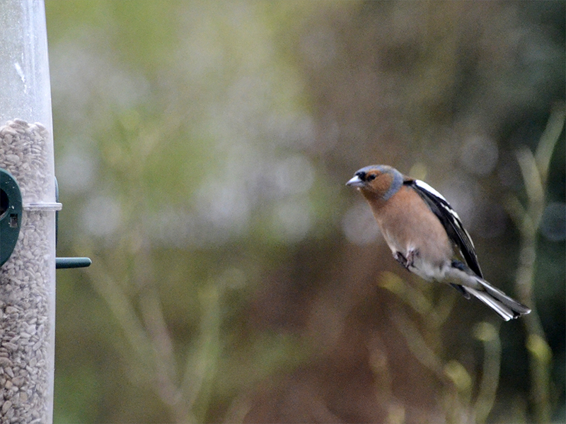 chaffinch too low