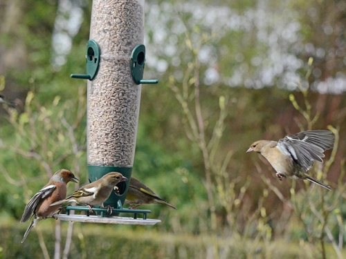 chaffinches busy