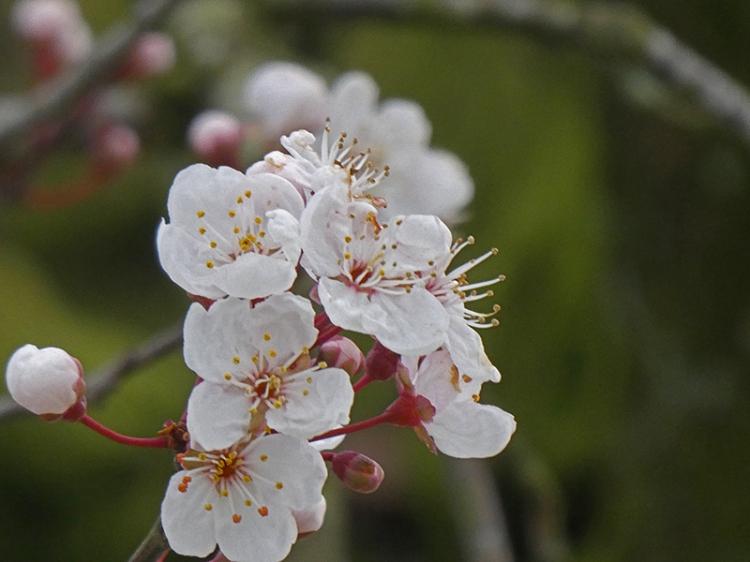 cherry blossom by river