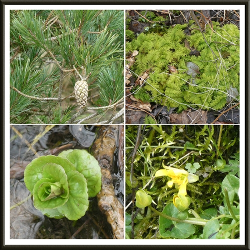 cone, moss, cress and celandine broomholm