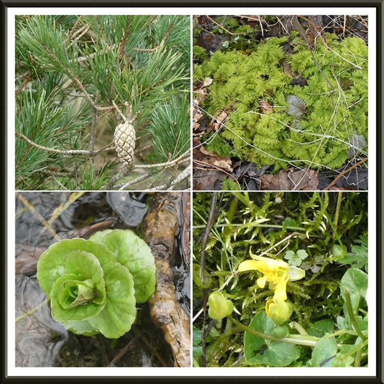 cone, moss, cress and celandine broomholm