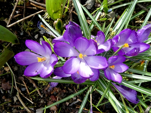 crocuses open