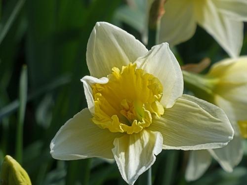 daffodil in sun