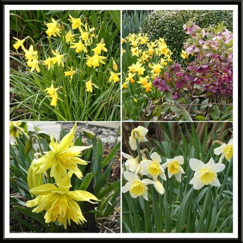 daffodil panel