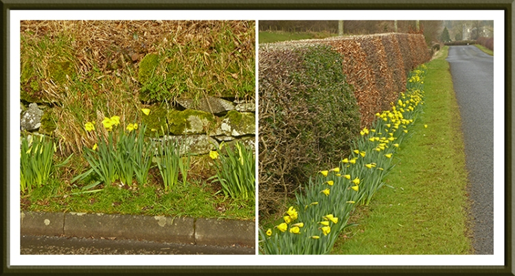 daffs on cycle tour