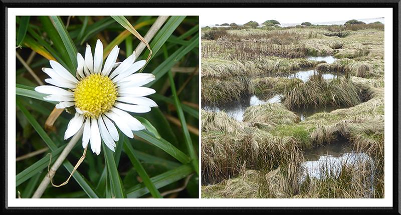 daisy and marsh powfoot