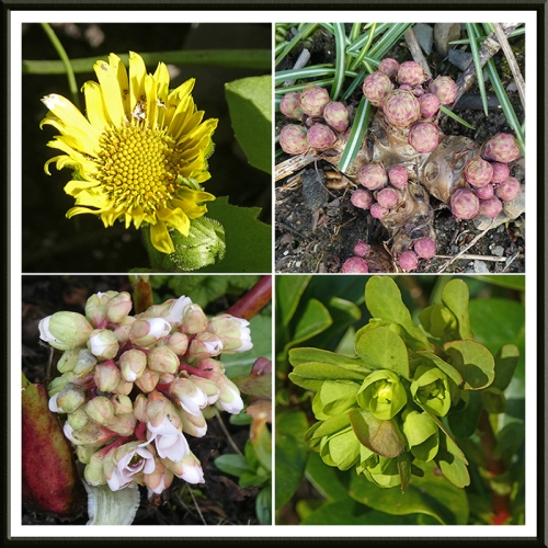 doronicum, euphorbia, bergenia and mystery