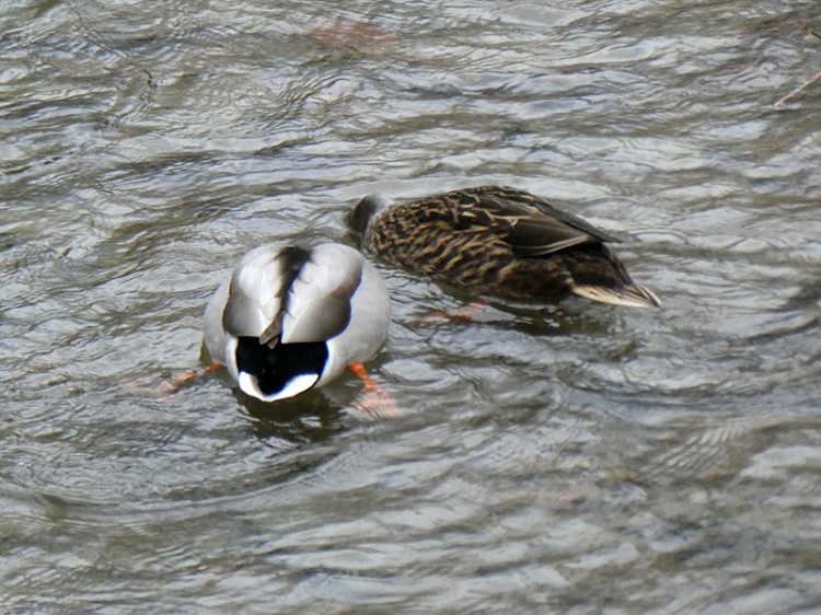 ducks getting heads together