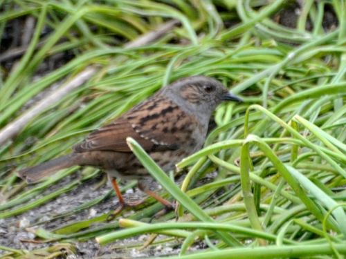 dunnock among the plants